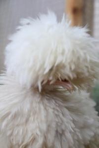 silkie-chicken-scott-allen-inline-web_orig